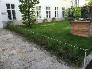 Liguster, frisch gepflanzt